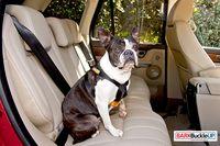 A dog safely strapped into a vehicle - photo courtesy BarkBuckleUP